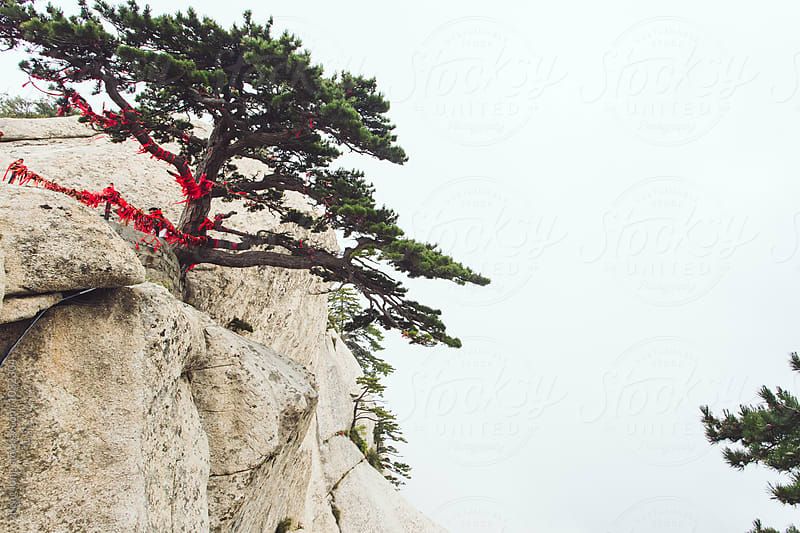 Pine in Huashan Mountain  by zheng long for Stocksy United