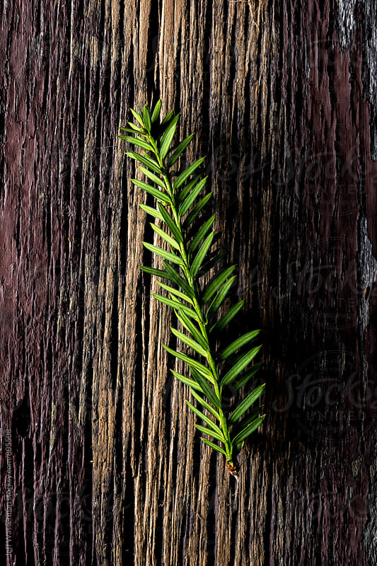Sprig of Sliver Fir on Rustic Wood by Jeff Wasserman for Stocksy United