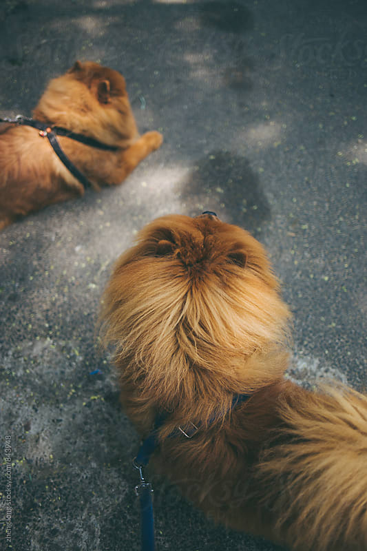 chow chow  by zheng long for Stocksy United
