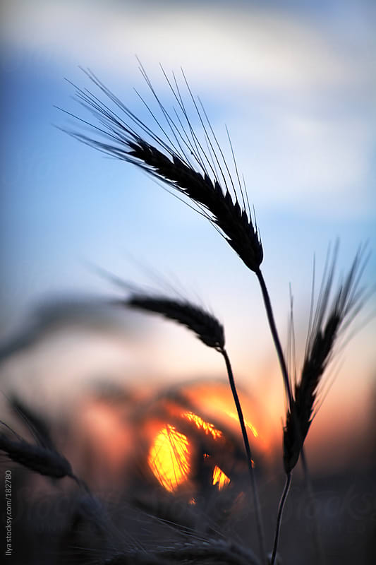 Wheat silhouette with sun on sunset by Ilya for Stocksy United