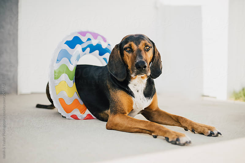 Summer Dog Hanging Out By Pool by Isaiah & Taylor Photography for Stocksy United