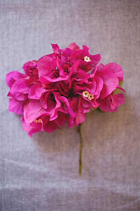 Up close beautiful vibrant hot pink bougainvillea flower by Natalie JEFFCOTT for Stocksy United