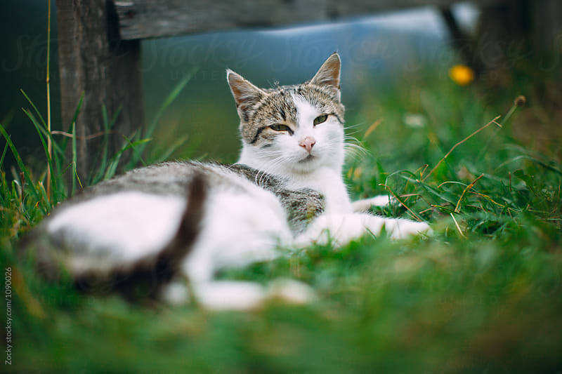 Gray domestic cat in green grass by Zocky for Stocksy United