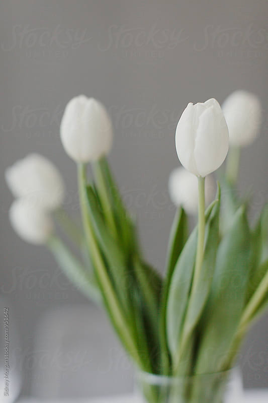 White Tulips in Vase by Sidney Morgan for Stocksy United