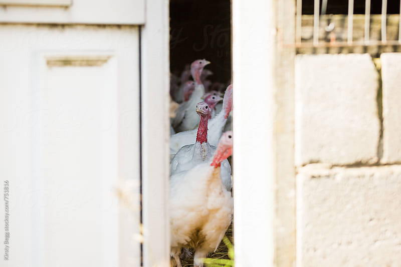Turkeys looking through gap in door in barn  by Kirsty Begg for Stocksy United
