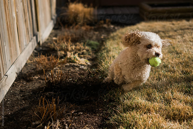 A small dog tears through a flower bed while playing ball by Riley Joseph for Stocksy United