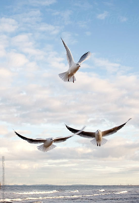 Three Seagulls in flight by Melanie Kintz for Stocksy United