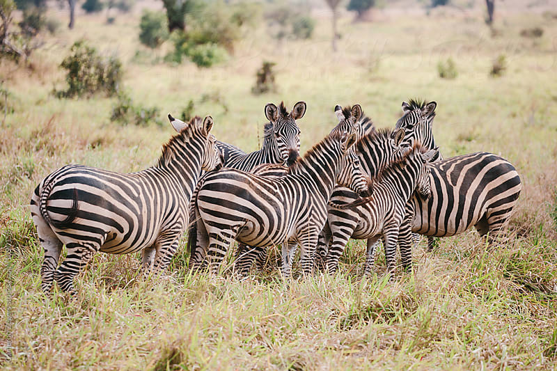 herd of zebra by Cameron Zegers for Stocksy United