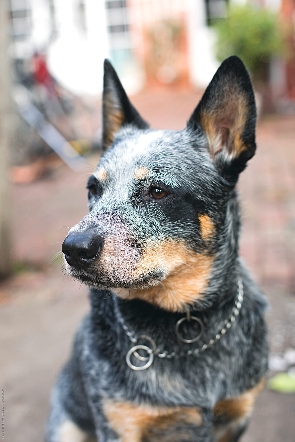 Close Up Portrait Of Blue Heeler Dog In Backyard In