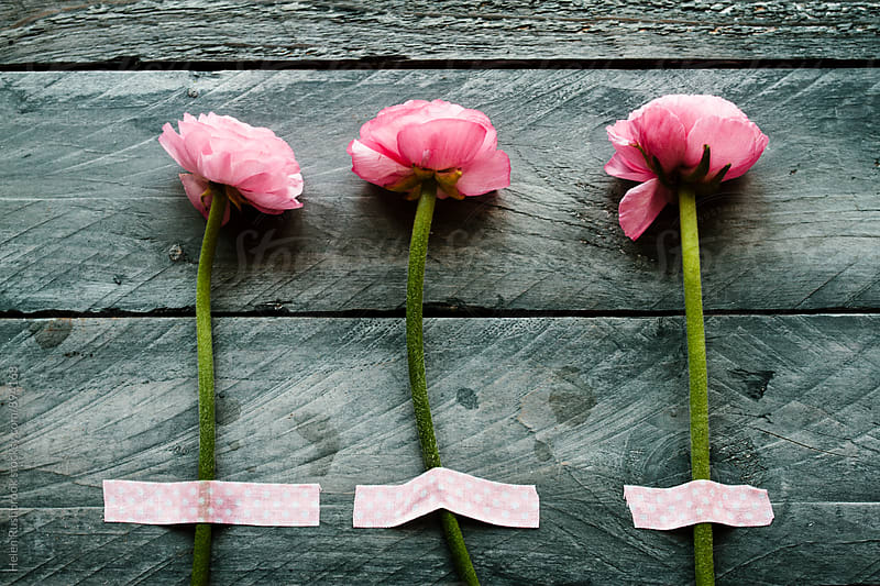 3 pink Ranunculus blooms washi-taped to wooden boards by Helen Rushbrook for Stocksy United