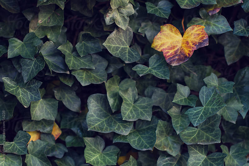 Yellow ivy leaves against green ivy wall by Kerry Murphy for Stocksy United