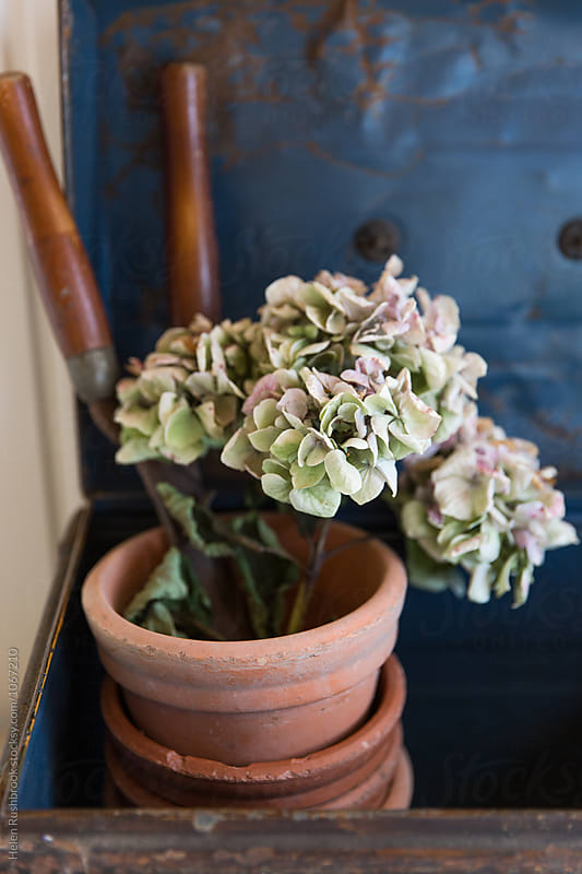 Dried Hydrangea flowers and vintage gardening equipment. by Helen Rushbrook for Stocksy United