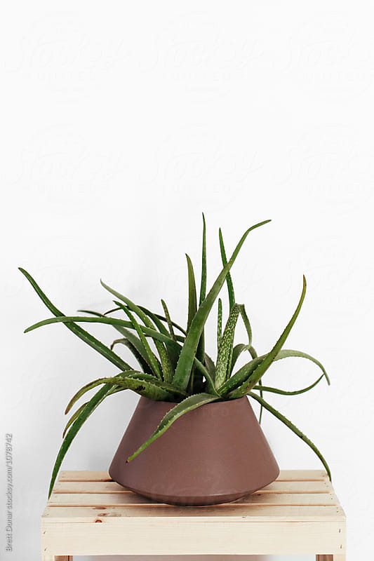 Aloe Plant by Brett Donar for Stocksy United