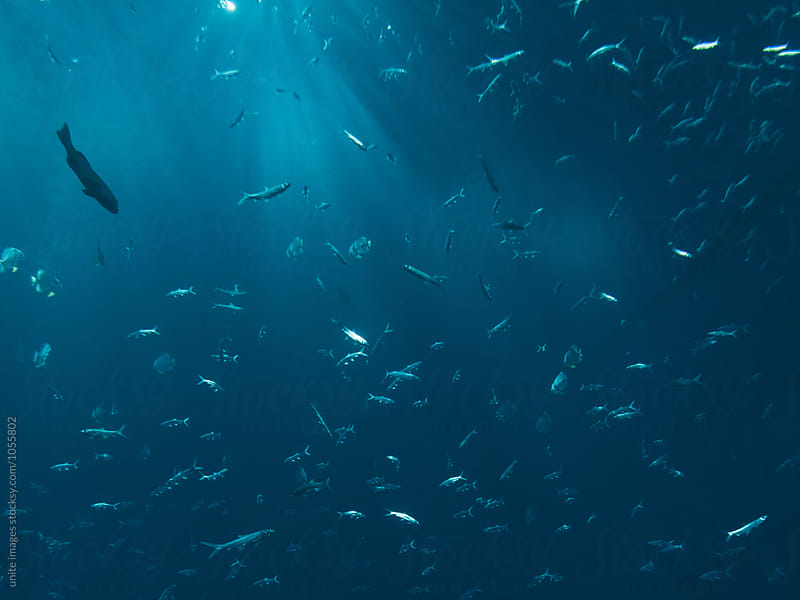 School Of Fish Swimming Under Blue Sea by yuanyuan xie for Stocksy United