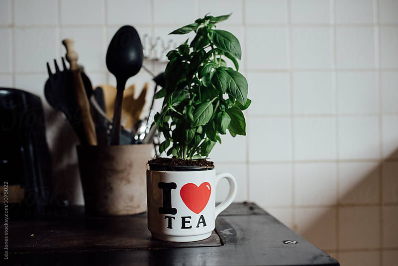 basil plant in tea cup by Léa Jones for Stocksy United
