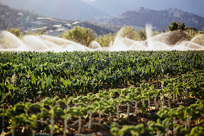 Watering an organic kale field by Lior + Lone for Stocksy United