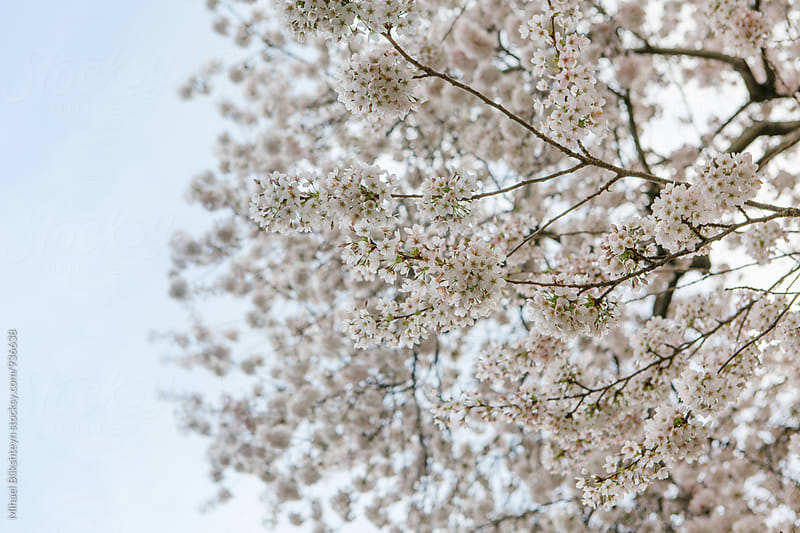 Tree branch with a cherry blossom against blue sky by Mihael Blikshteyn for Stocksy United