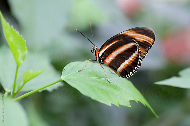 beautiful butterfly on a leaf by Marcel for Stocksy United