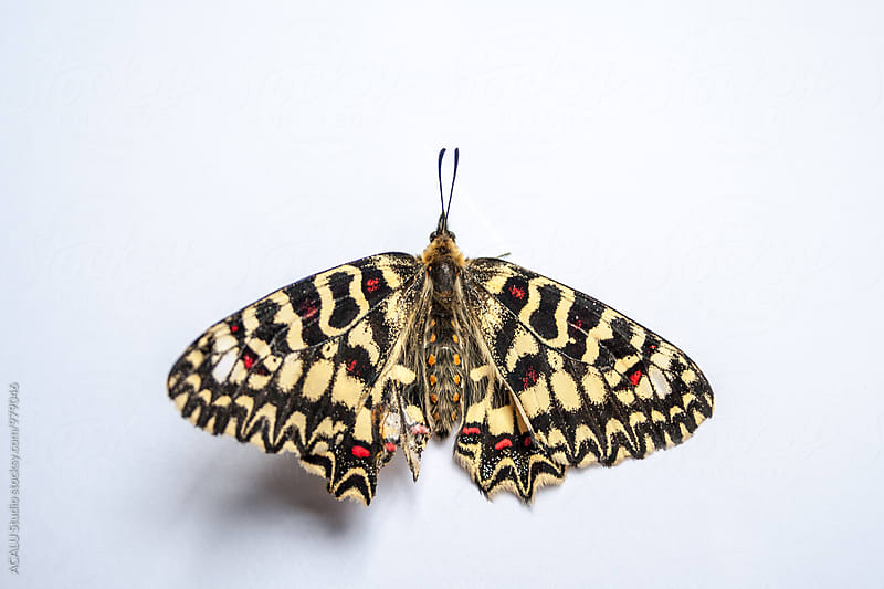 Butterfly from above with open wings by ACALU Studio for Stocksy United