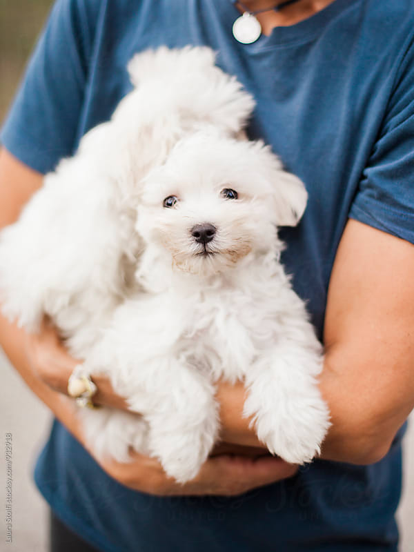 Extreme close-up of two white fluffy puppied held in woman's arms by Laura Stolfi for Stocksy United