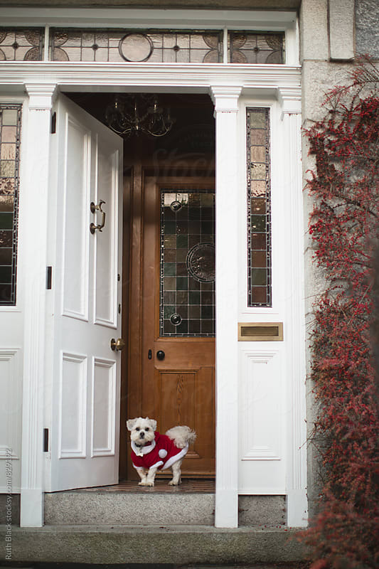 Lhasa apso in a Santa suit by Ruth Black for Stocksy United