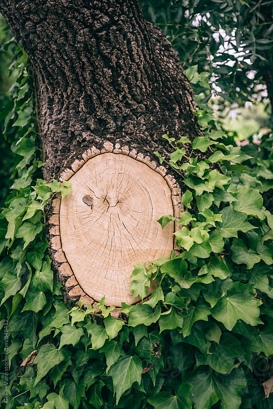 freshly cut tree limb surrounded by a green leafy creeper by Gillian Vann for Stocksy United