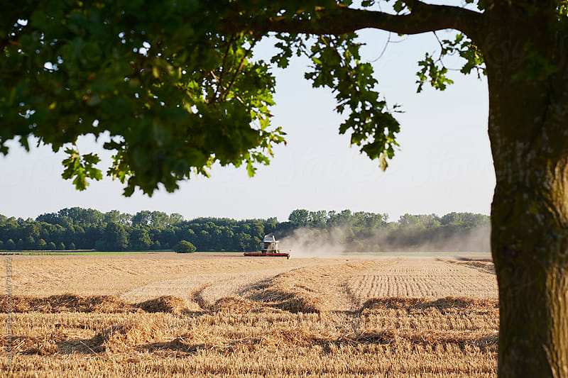 Combine harvester working in a field in evening light. Norfolk, UK. by Liam Grant for Stocksy United