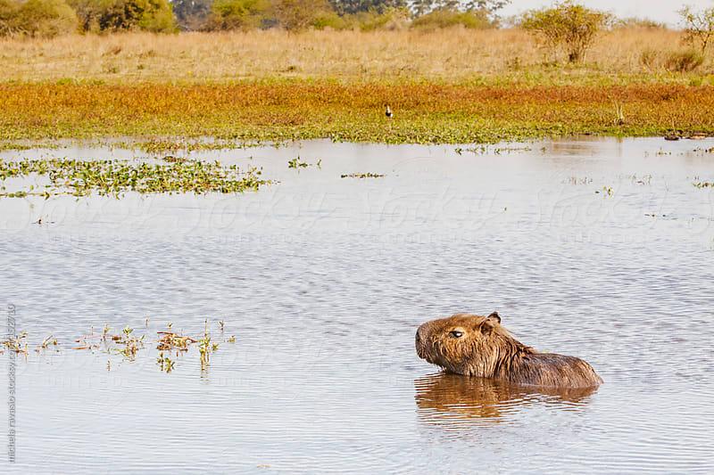 Capybara by michela ravasio for Stocksy United