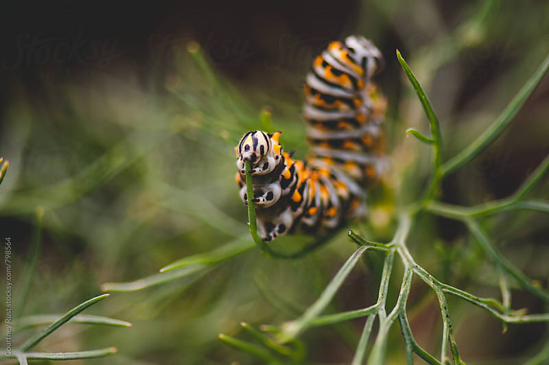 Caterpillar eating dill by Courtney Rust for Stocksy United