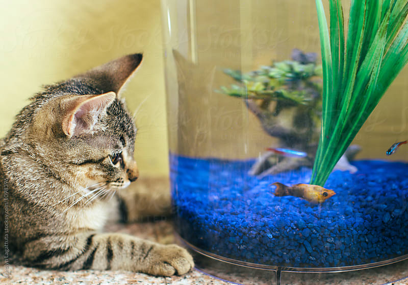 Tabby kitten looking into a fish tank by Carolyn Lagattuta for Stocksy United