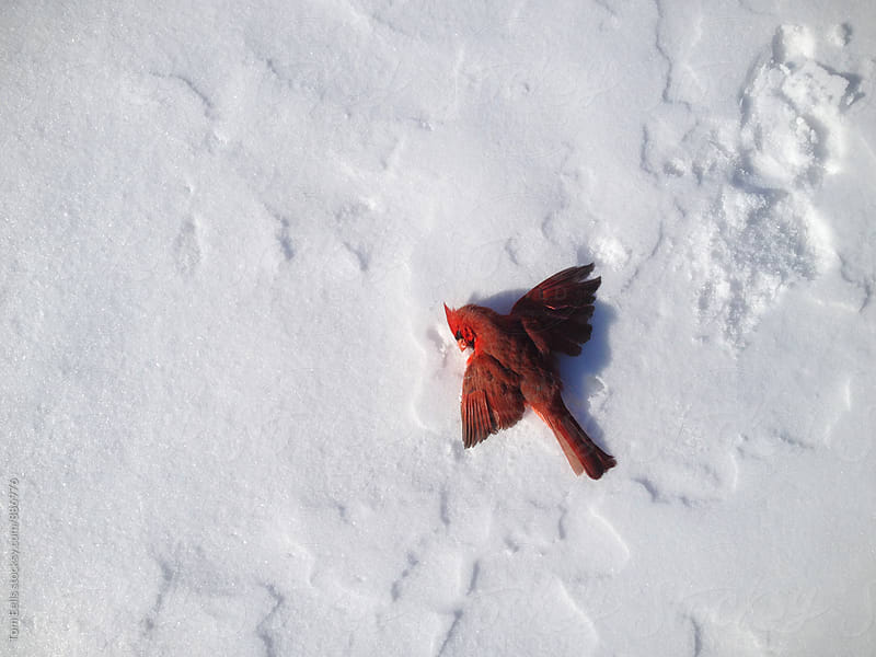 Red bird lying in snow with wings outstretched by Tom Eells for Stocksy United