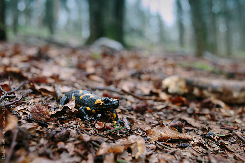 Fire salamander in forest by Marko Milovanović for Stocksy United