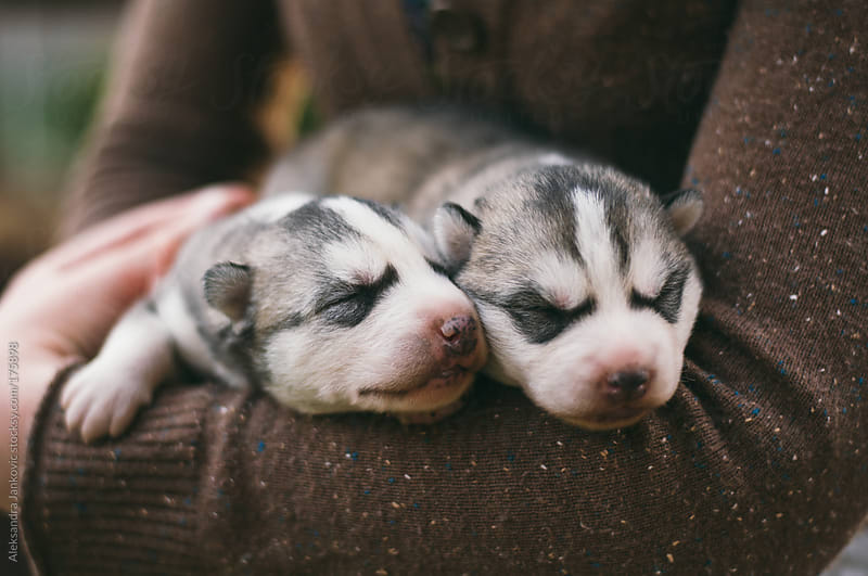Two husky puppies by Aleksandra Jankovic for Stocksy United