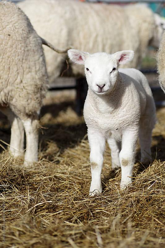 Newborn lamb in spring by Marcel for Stocksy United