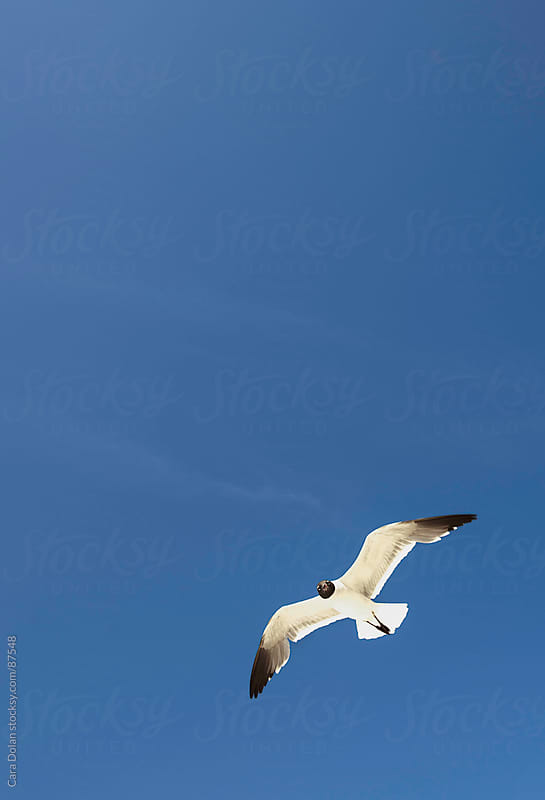 Sea gull flies overhead under a deep blue sky, looking directly at camera by Cara Dolan for Stocksy United