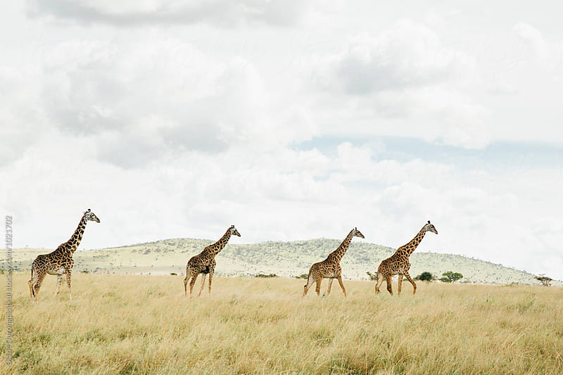 A tower of Giraffe along the Horizon by Diane Durongpisitkul for Stocksy United