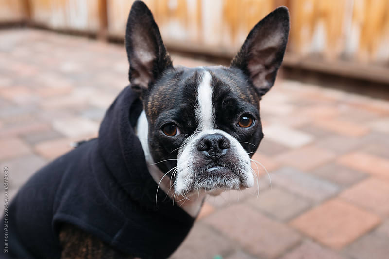 Bruce the Boston Terrier in his hoodie by Shannon Aston for Stocksy United