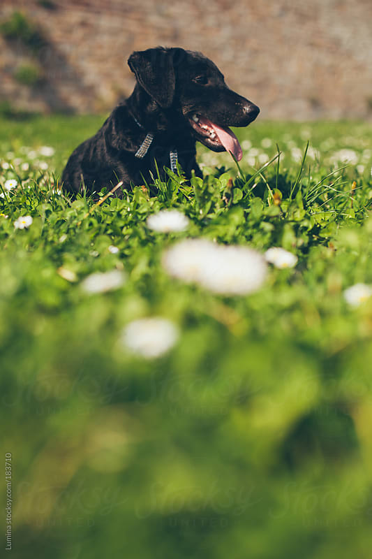 Dog Lying in the Grass by Lumina for Stocksy United