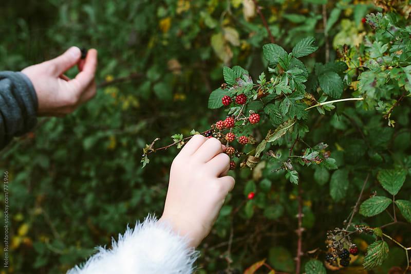 Picking blackberries by Helen Rushbrook for Stocksy United