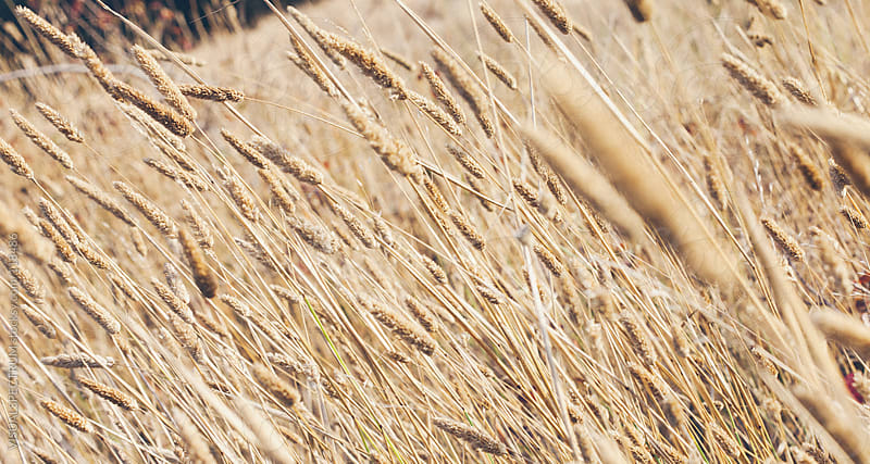 Dry Grass Close Up by VISUALSPECTRUM for Stocksy United