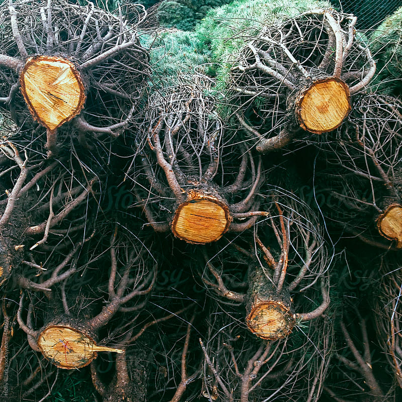 Freshly cut Christmas Tree Trunks by Holly Clark for Stocksy United
