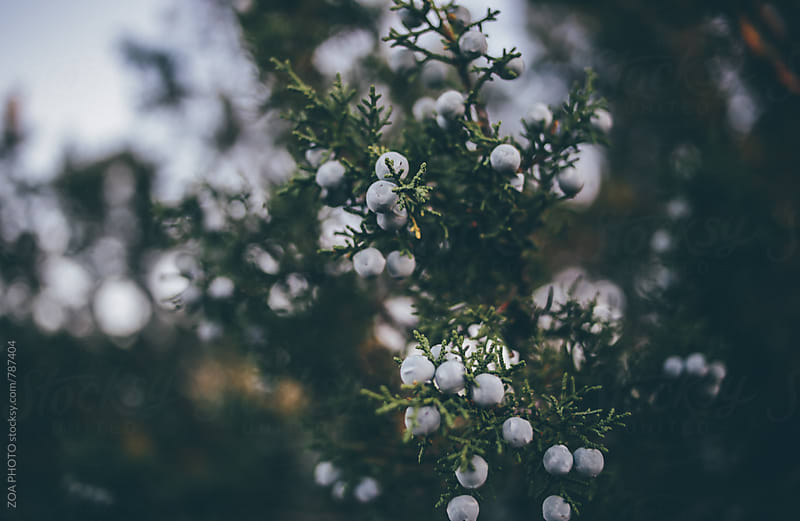 Juniper Berries by ZOA PHOTO for Stocksy United