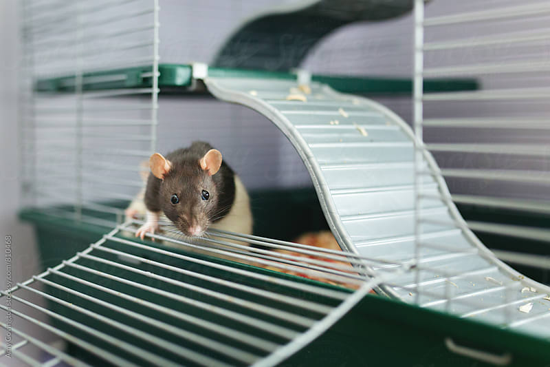 Brown and white pet rat by Amy Covington for Stocksy United