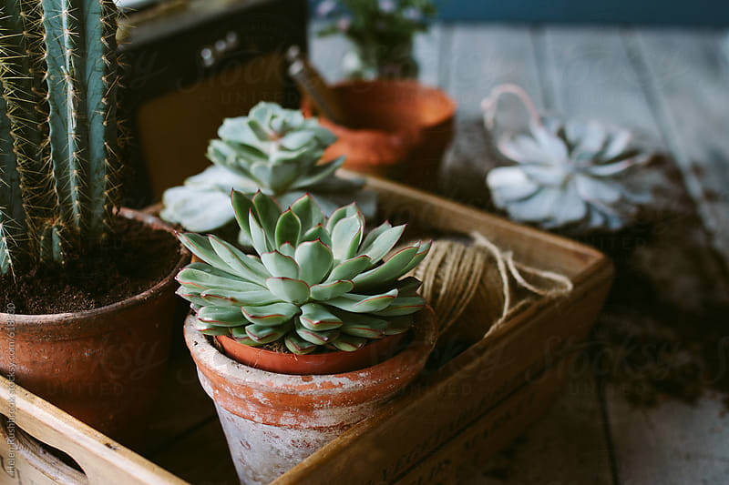 Succulents and gardening equipment by Helen Rushbrook for Stocksy United