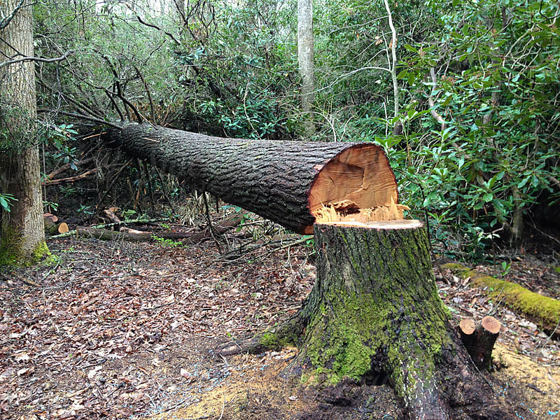 Fallen tree that was cut down with a chainsaw by David Smart for Stocksy United