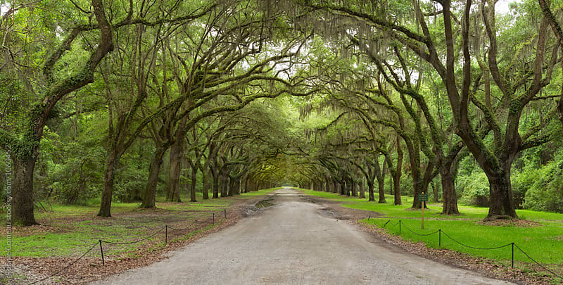 Long Row Of Oak Trees In American South by Ronnie Comeau for Stocksy United