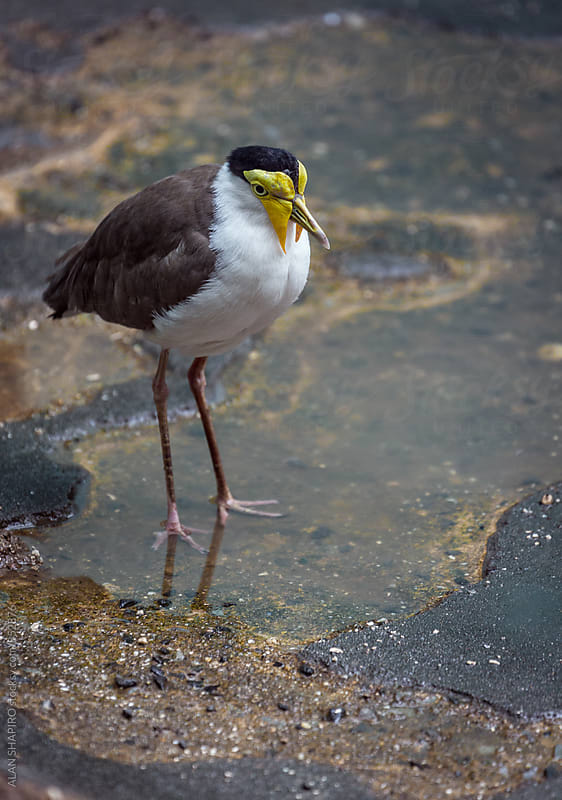 Lapwing in puddle by alan shapiro for Stocksy United