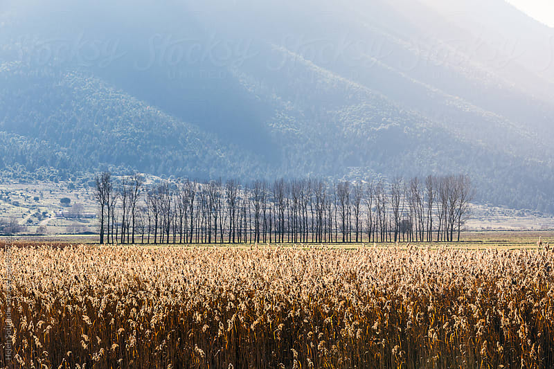 A Row of Trees in a Field of Grain by Helen Sotiriadis for Stocksy United