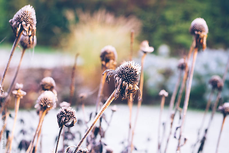 Frost on Echincea seed heads in a winter garden. by Helen Rushbrook for Stocksy United
