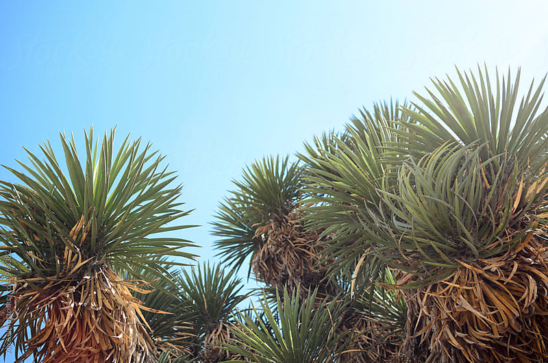 Yucca agains blue sky - nature of a desert by Alice Nerr for Stocksy United